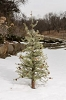 4 FT PINE TREE WITH ICE AND PINE CONES