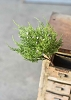 Creeping Cedar Bush | Green | 10