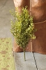 Baby's Grass Bush | New Green | 21
